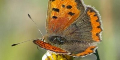 Burr marigold (Bidens alba) also known as Amor secalo with Colias crocea butterfly