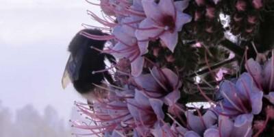 A bumblebee on a tower of jewels (Echium wildpretii). Roque de Los Muchachos