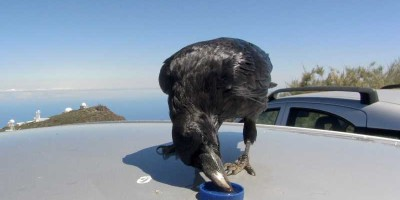 Raven drinking water from a bottle top with the telescopes of the Roque de Los Muchachos behind
