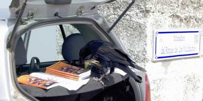 A raven getting curious about Sheila Crosby's books, Roque de Los Muchachos, La Palma
