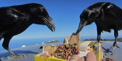 RAvens enjoying cat biscuits at the Roque de Los Muchachos. Photo credit: Sheila Crosby