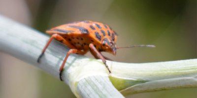 Graphosoma interruptum (pyjama bug) on Daucus carota (wild carrot) Brena Baja, La Palma island